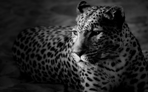 Leopard black and white